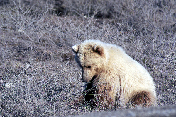 Sarashia ; Grizzly Bear Bear_sitting